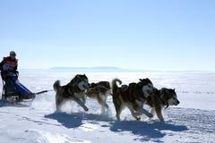 拉雪橇狗赛跑爱斯基摩在冬天 免版税库存照片