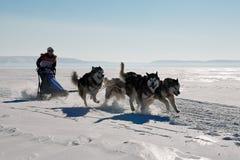 拉雪橇狗赛跑爱斯基摩在冬天 免版税库存图片