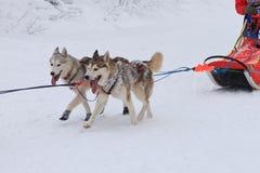 拉雪橇狗赛跑,两条爱斯基摩狗狗在冬天路的竞争时 免版税库存图片