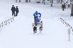 拉雪橇狗赛跑,狗队在冬天路的skijoring的竞争时 库存照片