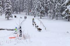 拉雪橇狗赛跑,狗队在skijoring的竞争时 免版税图库摄影