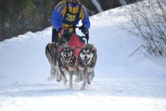 拉雪橇狗赛跑 免版税库存图片