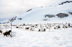 拉雪橇狗阵营 免版税图库摄影