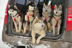 拉雪橇狗 免版税库存图片