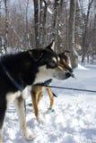 拉雪橇狗 库存照片