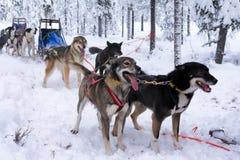 拉雪橇狗 免版税库存照片