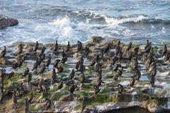 拉霍亚鸟休息 免版税图库摄影