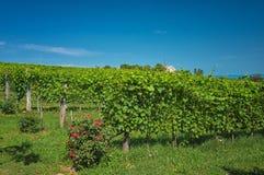 巴拉顿湖的葡萄园 图库摄影