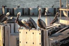巴巴拉额嘴褐色加利福尼亚中央沿海早期的羽毛海滨广场早晨鹈鹕栖息码头圣诞老人 免版税图库摄影
