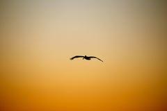 巴巴拉额嘴褐色加利福尼亚中央沿海早期的羽毛海滨广场早晨鹈鹕栖息码头圣诞老人 免版税库存图片