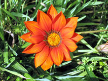拉马干公园杂色菊属植物2007年3月 免版税库存照片