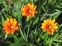 拉马干公园橙色杂色菊属植物2007年 免版税库存照片