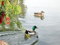 拉马干公园雄鸭和鸭子2007年2月 免版税库存图片