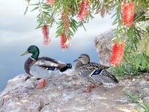 拉马干公园雄鸭和鸭子2007年4月 免版税库存图片