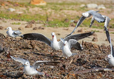 拌嘴的海鸥 图库摄影