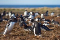 拌嘴Gentoo的企鹅-福克兰群岛 图库摄影