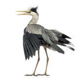 拍动它的翼的一只灰色苍鹭的背面图,尖叫, Ardea 免版税库存照片