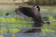 拍动它的翼的加拿大鹅 免版税库存图片