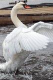 拍动它的翼的天鹅在湖 库存照片