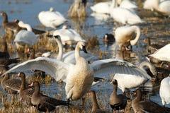 拍动它的翼的寒带苔原天鹅 免版税库存图片