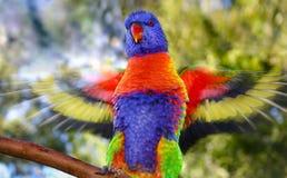 拍动它的翼的彩虹lorikeet显示行动迷离 免版税库存图片