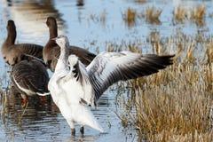 拍动它的翼的雪雁 免版税库存图片