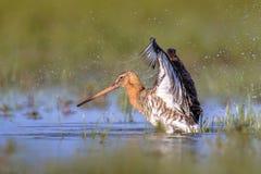 拍动水的黑被盯梢的黑尾豫趟水者鸟 免版税库存图片