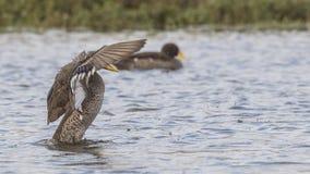 拍动羽毛的黄色开帐单的鸭子 库存图片
