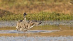 拍动翼的针尾鸭 图库摄影