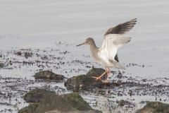 拍动他的翼的Waterbird 免版税库存照片