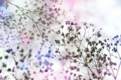 轻拍在轻的淡色背景的白色gypsophils 免版税图库摄影