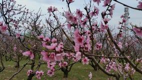 拍打是阴沉的关于桃子这个季节 免版税库存照片