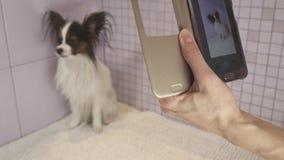 拍摄在智能手机狗在沐浴大陆玩具西班牙猎狗Papillon股票英尺长度录影以后 影视素材