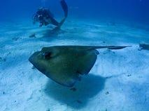 拍摄水肺黄貂鱼水中的潜水员 免版税图库摄影