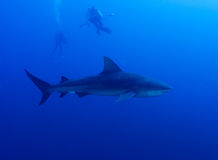 拍摄鲨鱼 免版税库存图片
