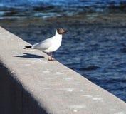 拍摄鸟海鸥坐堤防的花岗岩栏杆在大海背景的  库存照片