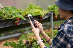 拍新鲜的草莓的照片 免版税库存图片