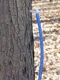 轻拍槭树的管材 库存图片