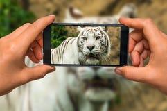 拍白色老虎照片与手机的 库存照片