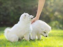 轻拍萨莫耶特人狗的白色小狗人的手 免版税库存照片