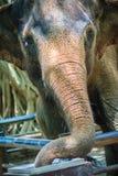 从轻拍龙头的白变种大象饮用水由用途它树干 免版税库存图片