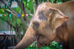 从轻拍龙头的白变种大象饮用水由用途它树干 库存照片