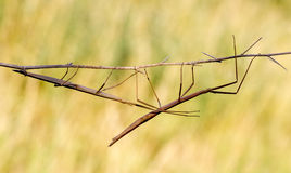 拐棍, Diapheromera femorata,竹节虫目 库存照片