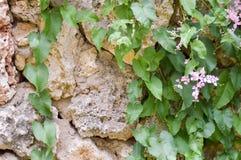 拓殖一块老棕色石头的常春藤 图库摄影