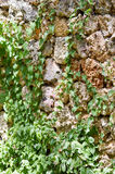拓殖一块老棕色石头的常春藤 库存图片