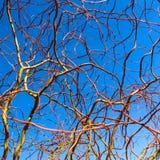 拔塞螺旋反对天空蔚蓝的金黄杨柳分支在冬天好日子 柳属matsudana 自然本底 库存图片