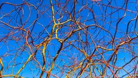 拔塞螺旋反对天空蔚蓝的金黄杨柳分支在冬天好日子 柳属matsudana 自然本底 免版税图库摄影