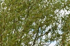 拔塞螺旋柳树分支和叶子 免版税库存照片
