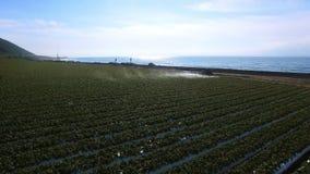 拖拉机灌溉的种植园麦地美丽的射击  股票录像