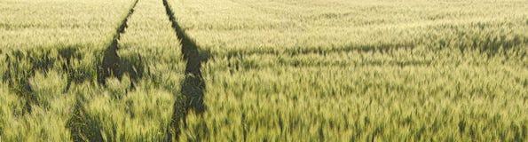 拖拉机的未成熟的甜玉米和轮胎轨道 免版税库存图片